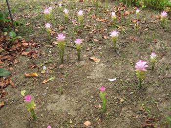 春ウコンの花