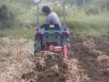 ウコン収穫