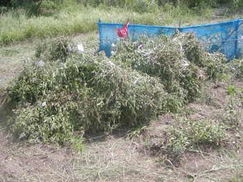 クミスクチン畑