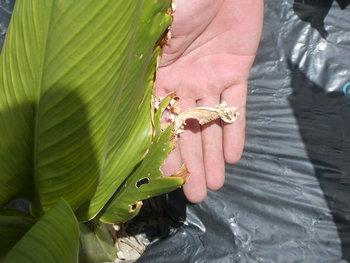 食われたウコンの葉