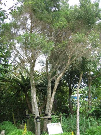 ティーツリーの木に